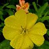 Stemless Evening Primrose (Oenothera triloba)