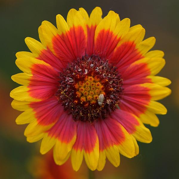 Firewheel (Gaillardia pulchella)