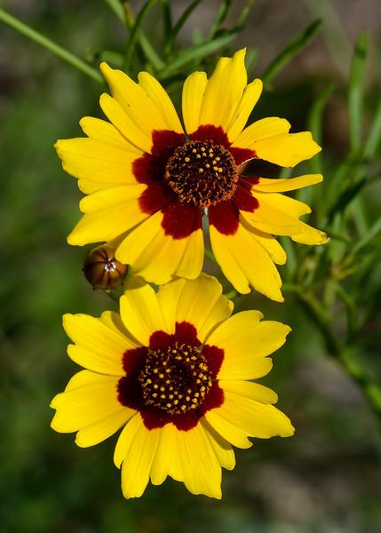 Plains Coreopsis (Coreopsis tinctonia)