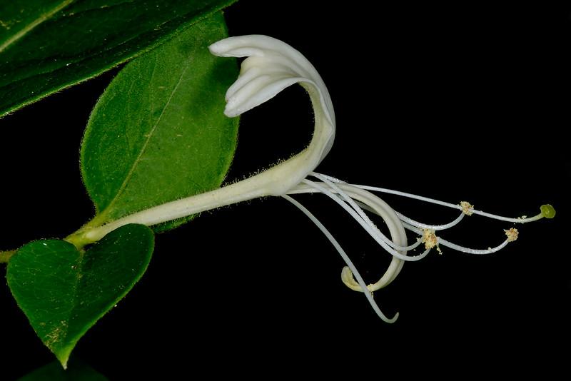 Japanese honeysuckle (Lonicera japonica) - introduced invasive species