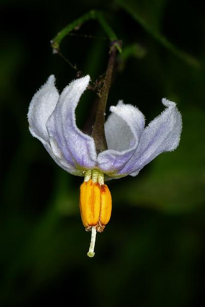 Texas Nighshade (Solanum triquetrum)
