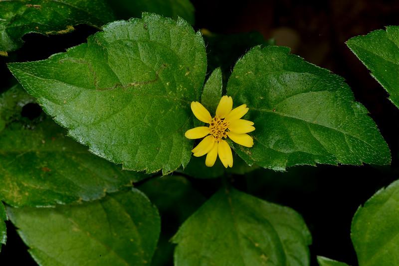 Horseherb (Straggler Daisy) (Calyptocarpus vialis)