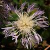 American basket-flower (Centaurea americana)