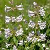Wild Foxglove (Prairie Penstemon) (Penstemon cobaea)