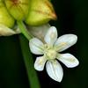 Wild Onion (Allium canadense variety canadense)