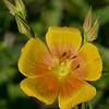 Berlandier's yellow flax (Linum berlandier