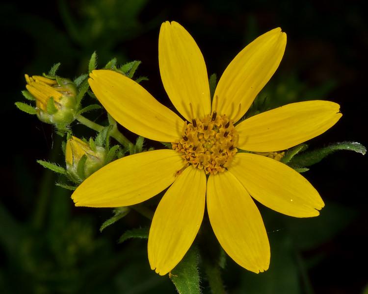 Engelmann's Daisy (Engelmannia peristeni