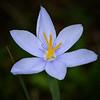 Prairie Celestial (Nemastylis geminiflora)