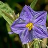 Silverleaf Nightshade (Solanum elaeagnifolium)