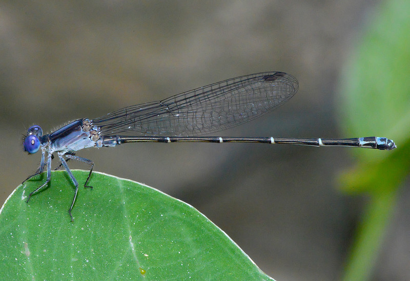 Dusky Dancer (male)