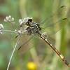 Broad-striped Leaftail