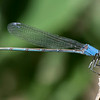Powdered Dancer (blue female)