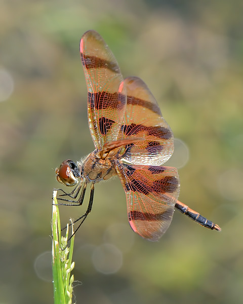 Halloween Pennant (male)