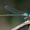Powdered Dancer ( blue female)
