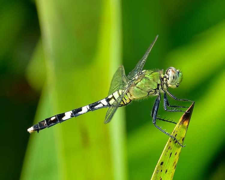 Eastern Pondhawk (female)