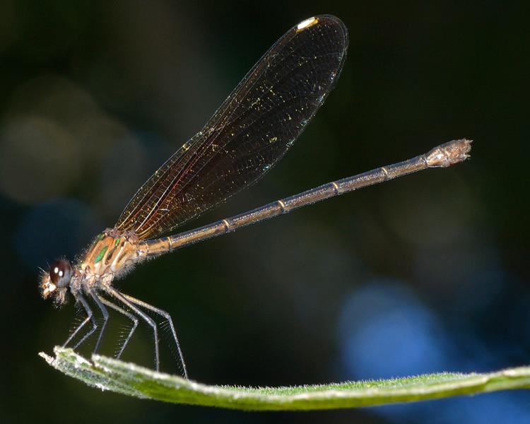 Smoky Rubyspot (Hetaerina titia)