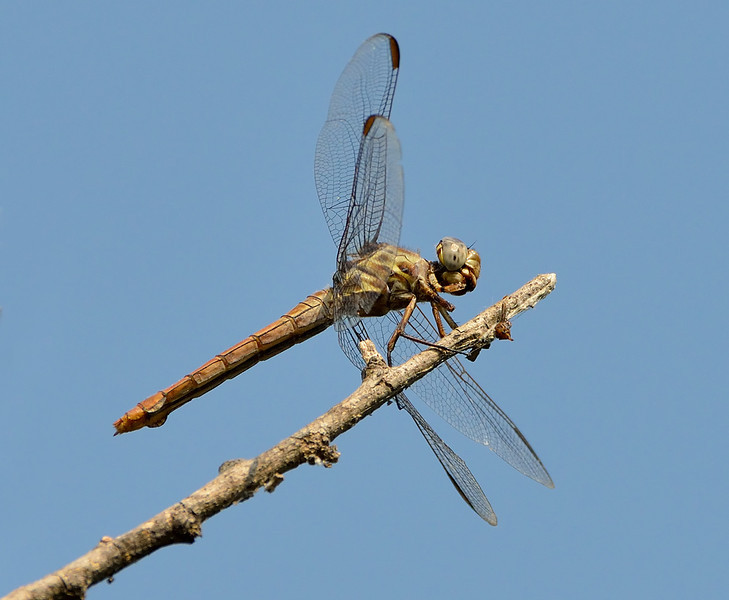 Roseate Skimmer (female)