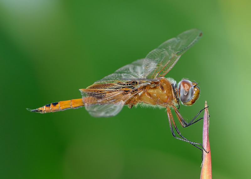 Red Saddlebags (immature)