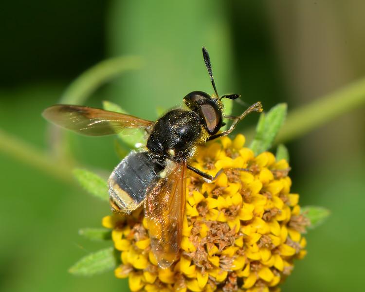 Hoplitimyia mutabilis