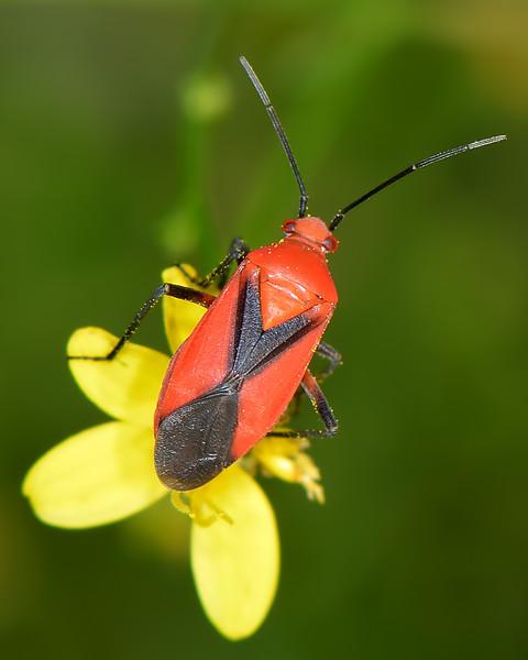 Oncerometopus nigriclavus