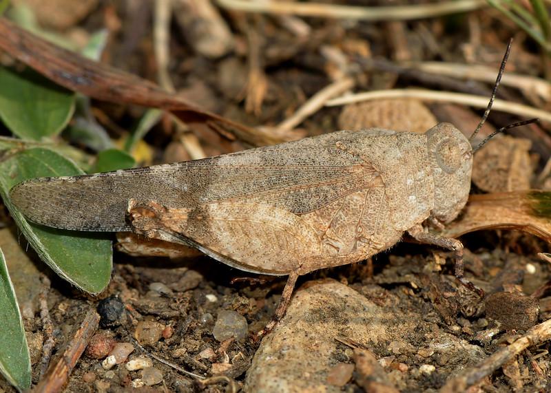 Aztec Range Grasshopper (Lactista azteca)