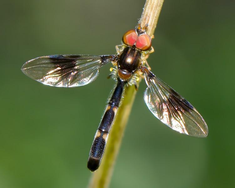 Hoverfly (Ocyptamus fascipennis)