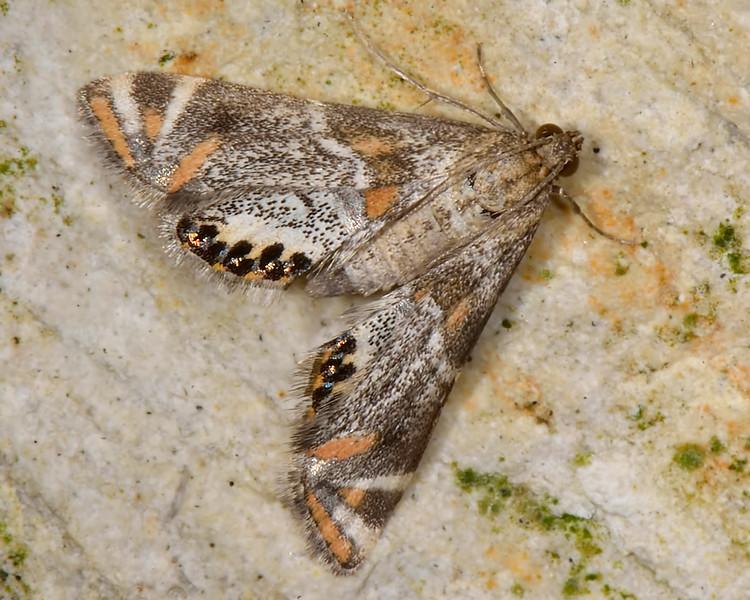 Jumping Spider Mimic Moth (Petrophila jaliscalis)