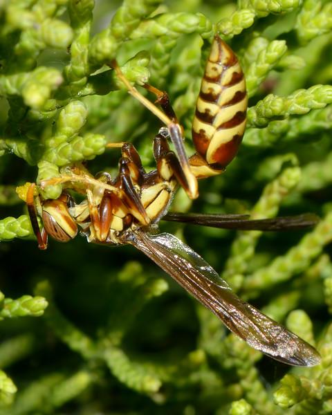 Paper Wasp (Polistes)