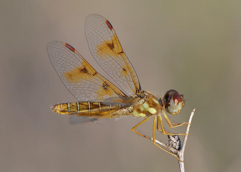 Eastern Amberwing (Perithemis tenera),  female