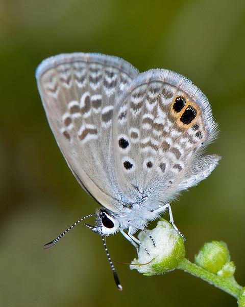 Ceraunus Blue (Hemiargus ceraunus))