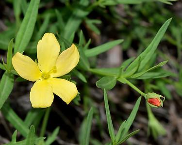 Low Menodora or Redbud (Menodora heterophylla)