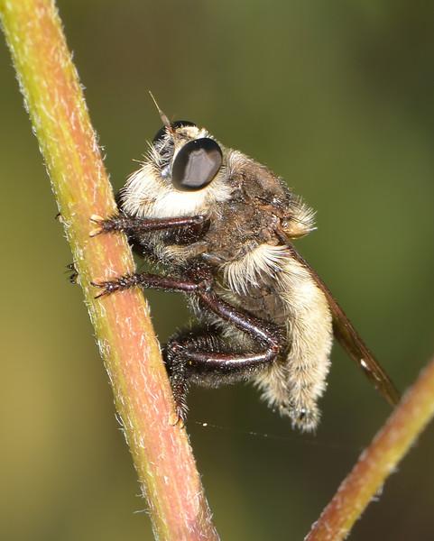 Mallophora fautrix