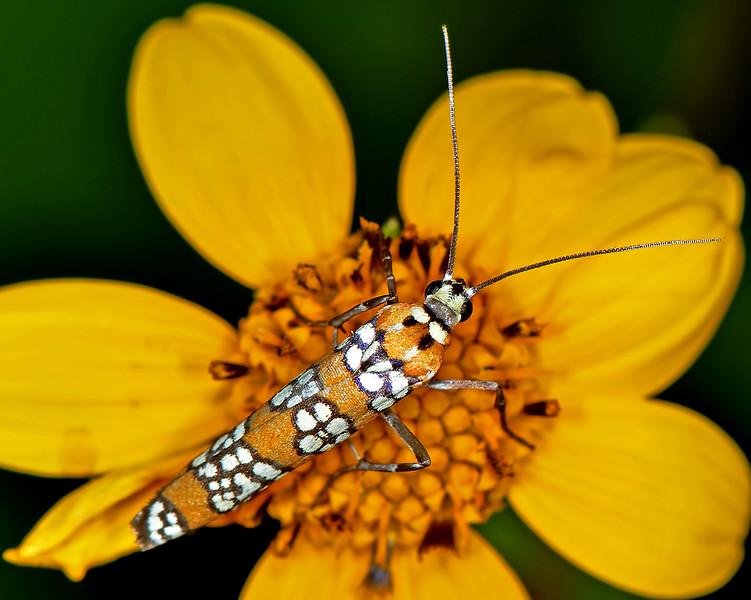 Ailanthus Webworm Moth (Atteva punctella)