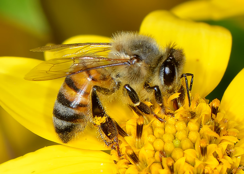 Western (European) Honey Bee (Apis mellifera)