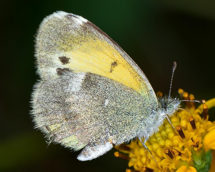 Dainty Sulphur (Nathalis iole), winter form