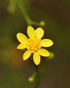 Broomweed (Xanthocephalum dracunculoides)