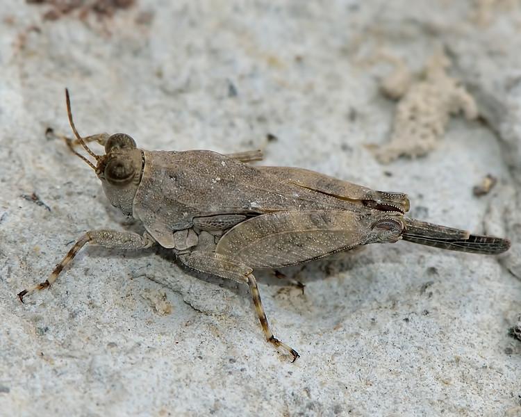 Pygmy Grasshopper (Paratettix aztecus)