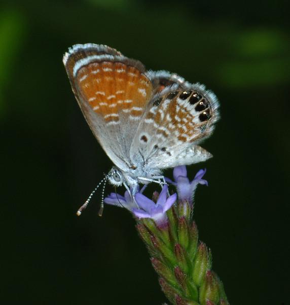 Western Pygmy-Blue (Brephidium exilis)
