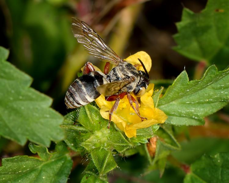 Cuckoo Bee (Genus Triepeolus)