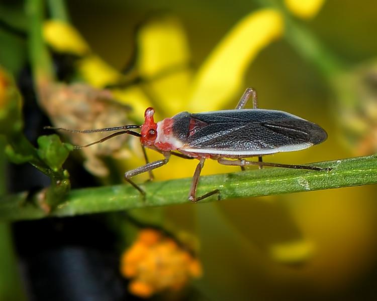 Cactus Bug (Hesperolabops gelastops)