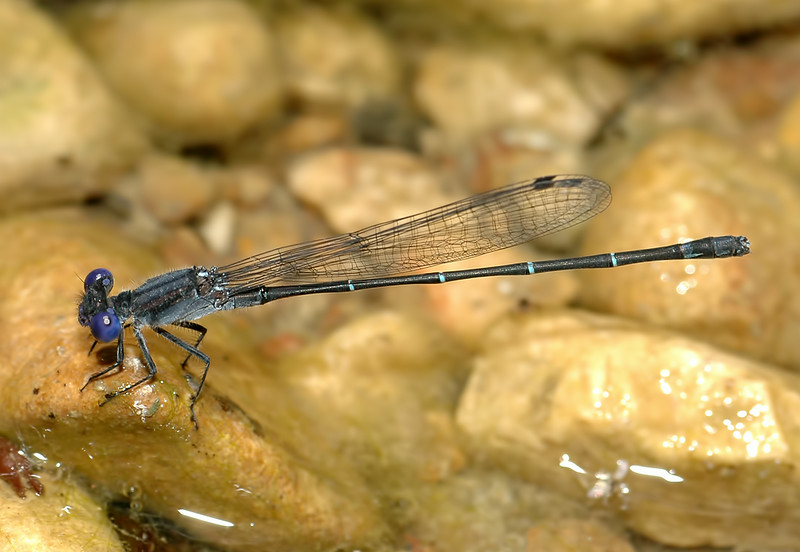 Dusky Dancer (Argia translata)