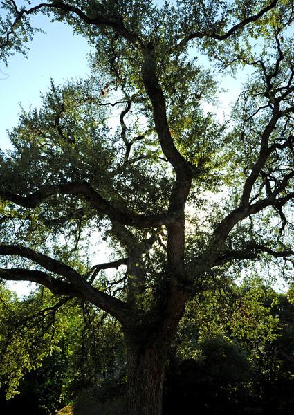 Custer's Oak