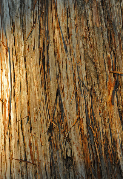 Bark of ash juniper in Custers Meadow