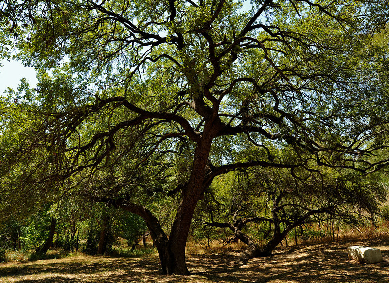 Live oak near Seiders Springs