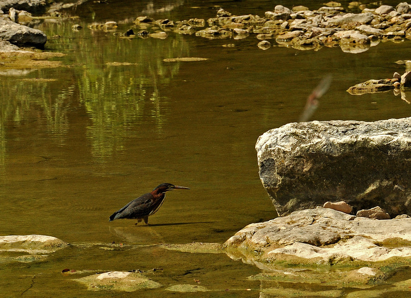 Green heron in Shoal Creek