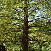 Bald cypress along Lady Bird Lake and Shoal Creek