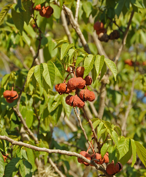Red buckeye in Pease Park