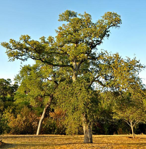 Cedar elm Pease Park