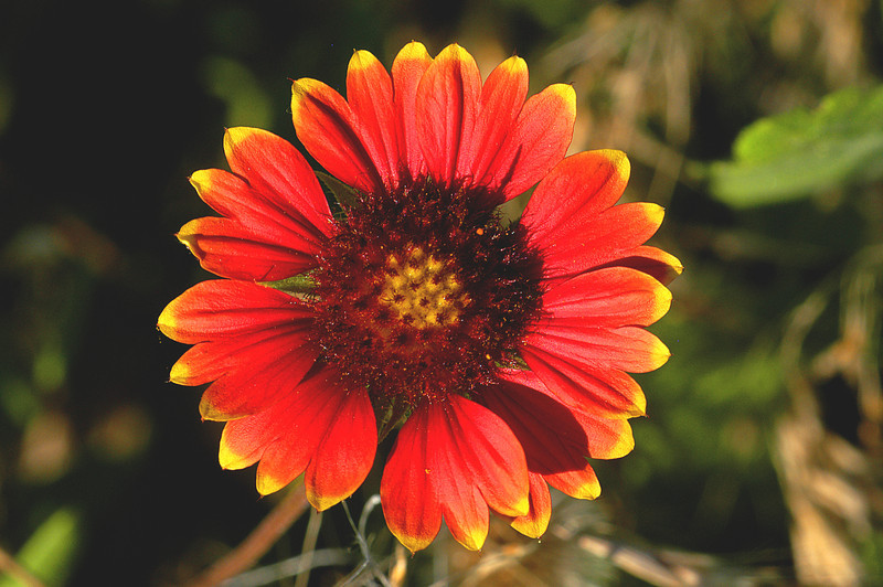 Indian blanket (Gaillardia)
