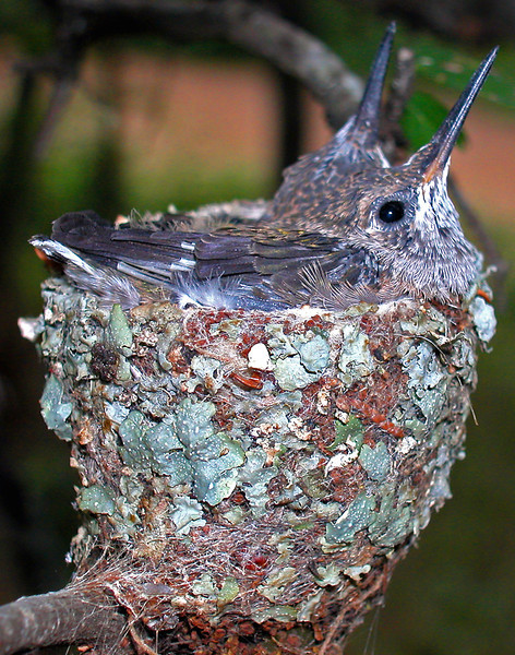 Black-chinned hummingbird nest in Pease Park